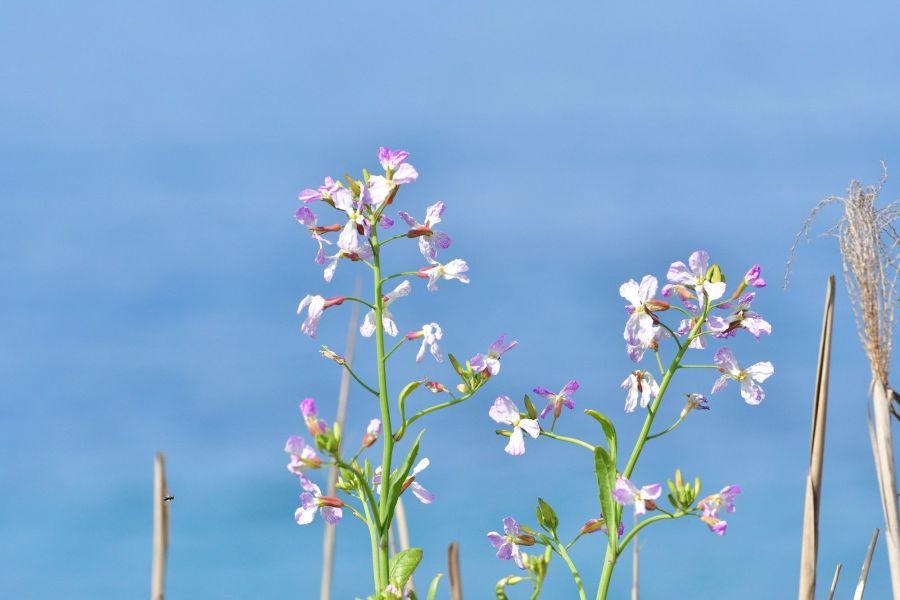 潮風に揺れるダイコンの花